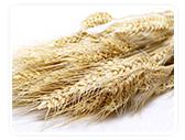 blé aliimentation sans gluten